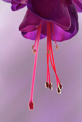 Photograph - Dance Of The Fuschia by Shirley Mitchell