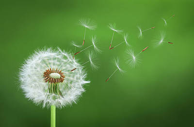 Photograph - Dandelion Blowing by Bess Hamiti