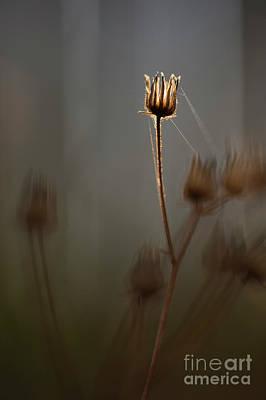 Photograph - Dandelion Stem Backlit by Jim Corwin