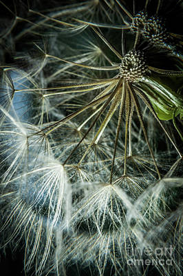 Photograph - Dandelions by Iris Greenwell