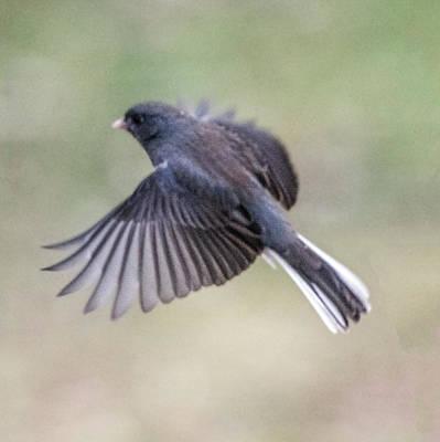 Photograph - Dark Eyed Junco Flying by William Bitman
