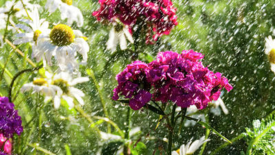 Photograph - Dianthus Barbatus by Tamara Sushko