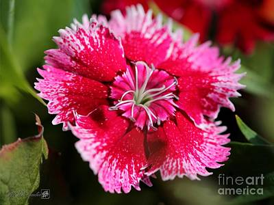 Photograph - Dianthus Named Floral Lace Violet Picotee by J McCombie