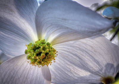 Photograph - Dogwood by Phil Rispin