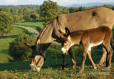 Donkey With Foal Art Print by Thomas R Fletcher