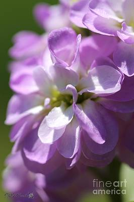 Photograph - Double Lavender Stocks From The Vintage Mix by J McCombie