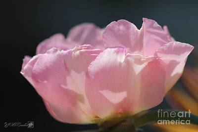 Photograph - Double Portulaca In Warm Dusty Rose Pink by J McCombie