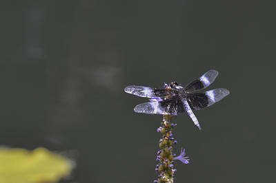 Photograph - Dragon Fly by Linda Geiger