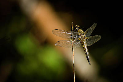 Photograph - Dragonfly by Benjamin Dahl