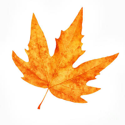Photograph - Dry Maple Leaf by Anna Om
