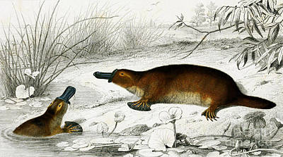 Platypus Photograph - Duck-billed Platypus O. Anatinus by Biodiversity Heritage Library