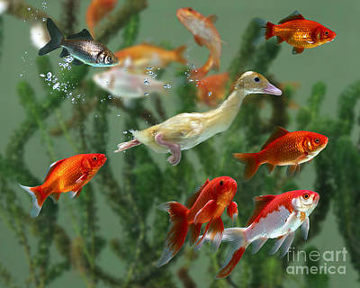 Baby Bird Photograph - Duckling And Goldfish by Jane Burton