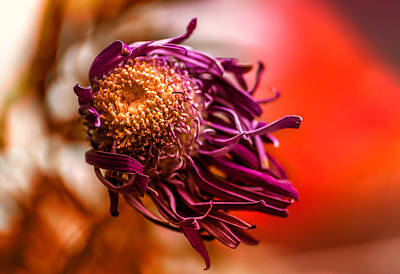 Photograph - Dying Purple Chrysanthemum Flower Background by John Williams