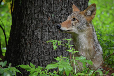 Photograph - Early Morning Coyote In Maine by Jesse MacDonald