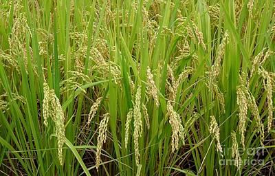 Photograph - Ears Of Rice by Yali Shi