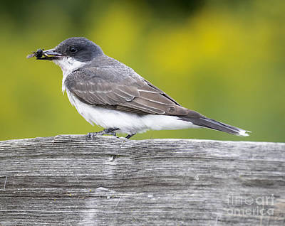 Photograph - Eastern Kingbird by Ricky L Jones