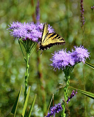 Photograph - Eastern Tiger Swallowtail by Carol Bradley