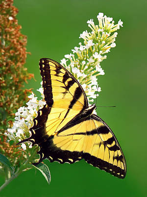 Photograph - Eastern Tiger Swallowtail by Carolyn Derstine