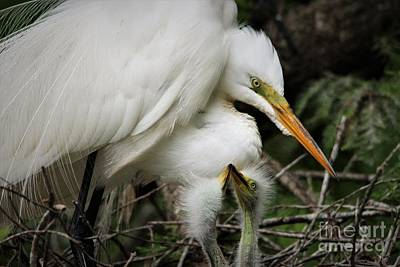 Photograph - Egret With Babies by Paulette Thomas