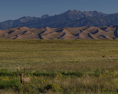 Sunflowers Royalty-Free and Rights-Managed Images - Eight Point Buck in the Grass Lands of the Great Sand Dunes by Bridget Calip