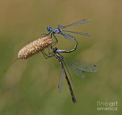 Blue Photograph - Emerald Spreadwing by Gary Wing