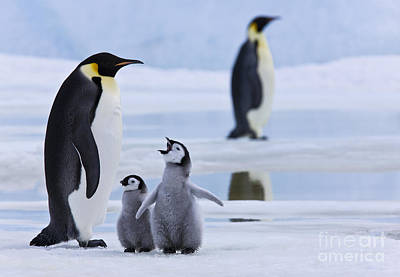 Emperor Penguins And Chicks Art Print by Jean-Louis Klein & Marie-Luce Hubert