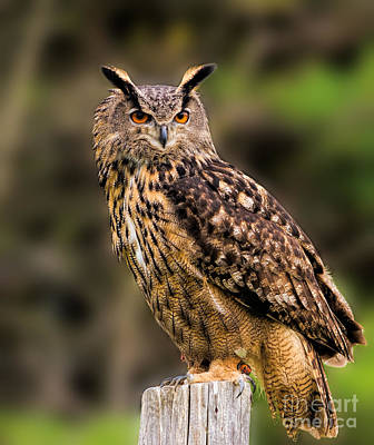 Photograph - Eurasian Eagle Owl Perched On A Post by Les Palenik