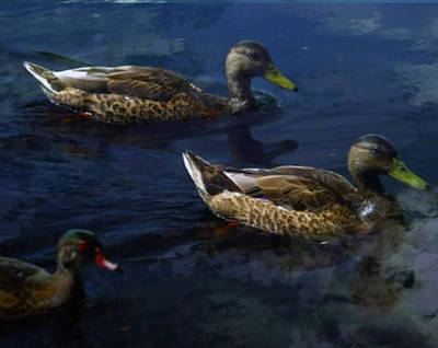 Mixed Media - Exotic Birds Of America Ducks In A Pond by Navin Joshi