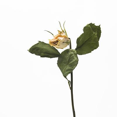 Faded Rose Flower Art Print by Bernard Jaubert
