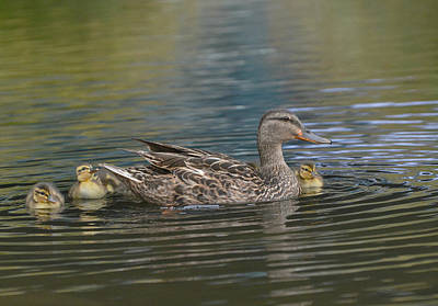 Baby Mallards Photograph - Family Ties by Fraida Gutovich