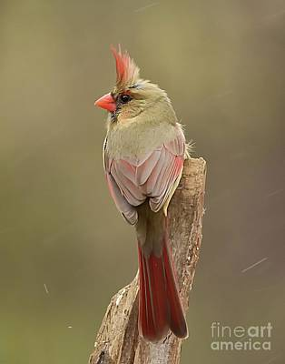 Photograph - Female Cardinal by Debbie Green