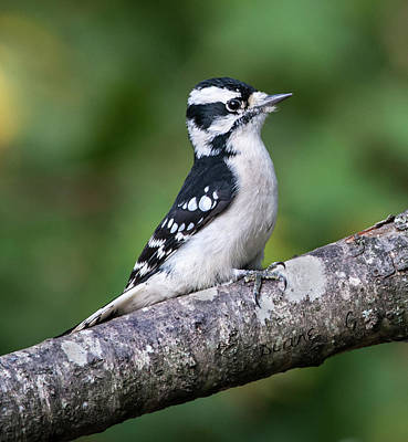 Photograph - Female Downy Woodpecker by Diane Giurco