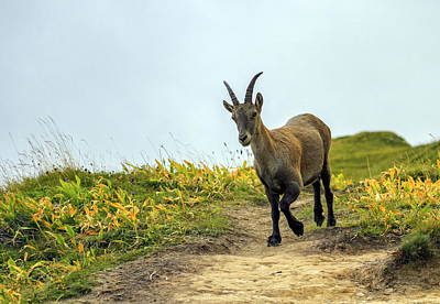 Photograph - Female Wild Alpine, Capra Ibex, Or Steinbock by Elenarts - Elena Duvernay photo