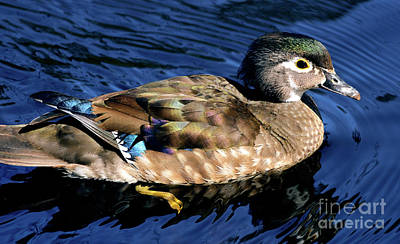 Photograph - Female Wood Duck by Terry Elniski