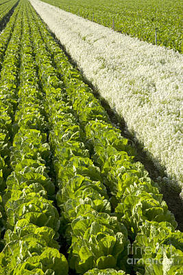 Romaine Photograph - Field Of Organic Lettuce by Inga Spence