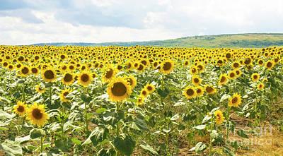 Field With Sunflowers Art Print
