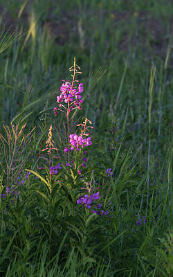 Photograph - Fireweed by Dee Carpenter