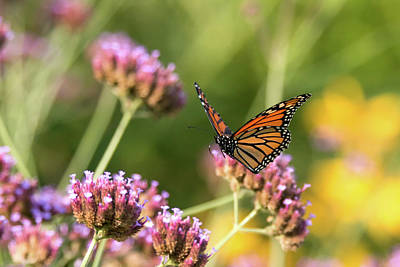 Photograph - Flight Of The Monarch 1 by Brian Hale