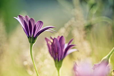 Violet Bloom Photograph - Flower On Summer Meadow by Nailia Schwarz