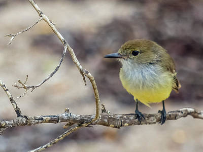 Photograph - Flycatcher by Harry Strharsky