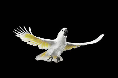 Black Birds Photograph - Flying Crested Cockatoo Alba, Umbrella, Indonesia, Isolated On Black Background by Sergey Taran