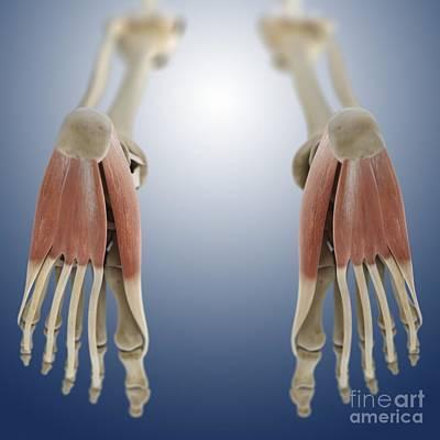 Foot Muscles, Artwork Art Print by Springer Medizin