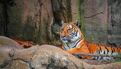 Photograph - Fort Worth Zoo Tiger by Robert Bellomy