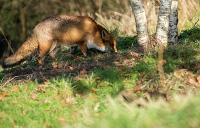 Photograph - Fox  by Cliff Norton