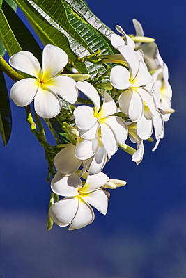 Recent Photograph - Frangipani by Marcia Colelli
