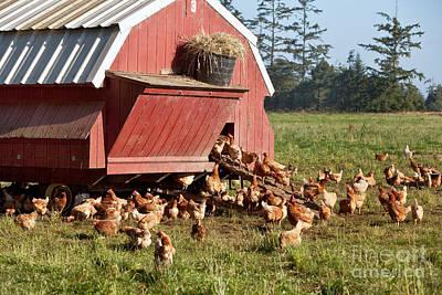 Free Range Chickens Art Print by Inga Spence