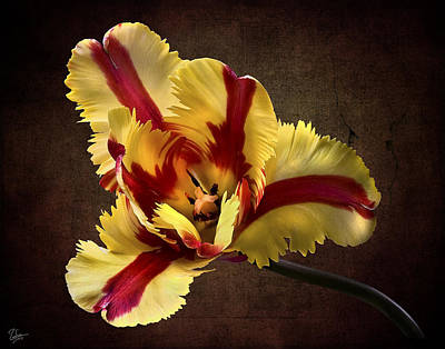 Photograph - French Tulip by Endre Balogh