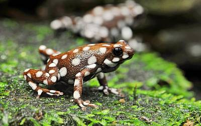 Salamanders Digital Art - Frog by Barbara Elvins