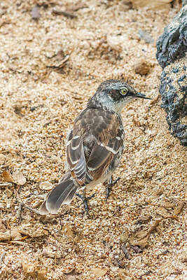 Photograph - Galapagos Mockingbird In Santa Cruz Island. by Marek Poplawski