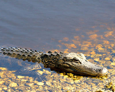 Melbourne Beach Photograph - Gator by W Gilroy